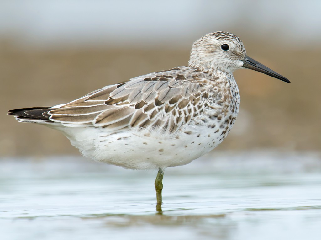 Flocks containing dozens of Great Knot are commonly seen on the mudflats at Dongtai.
