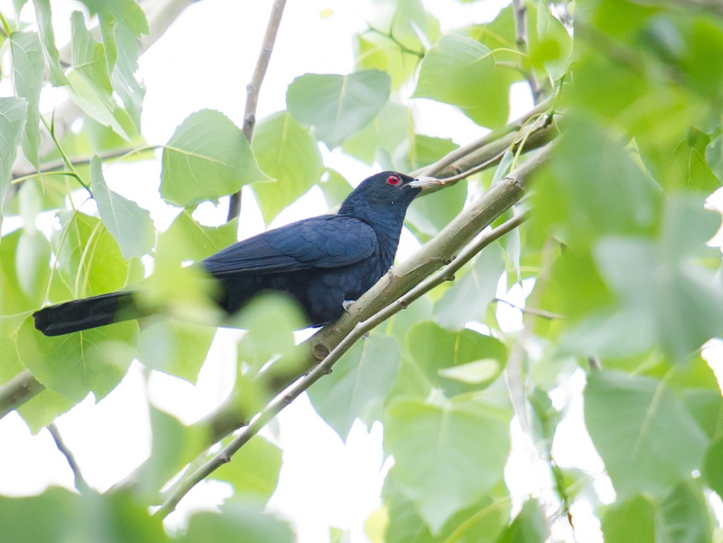 In spring, you may hear the call of Asian Koel in the forests at Dongtai.
