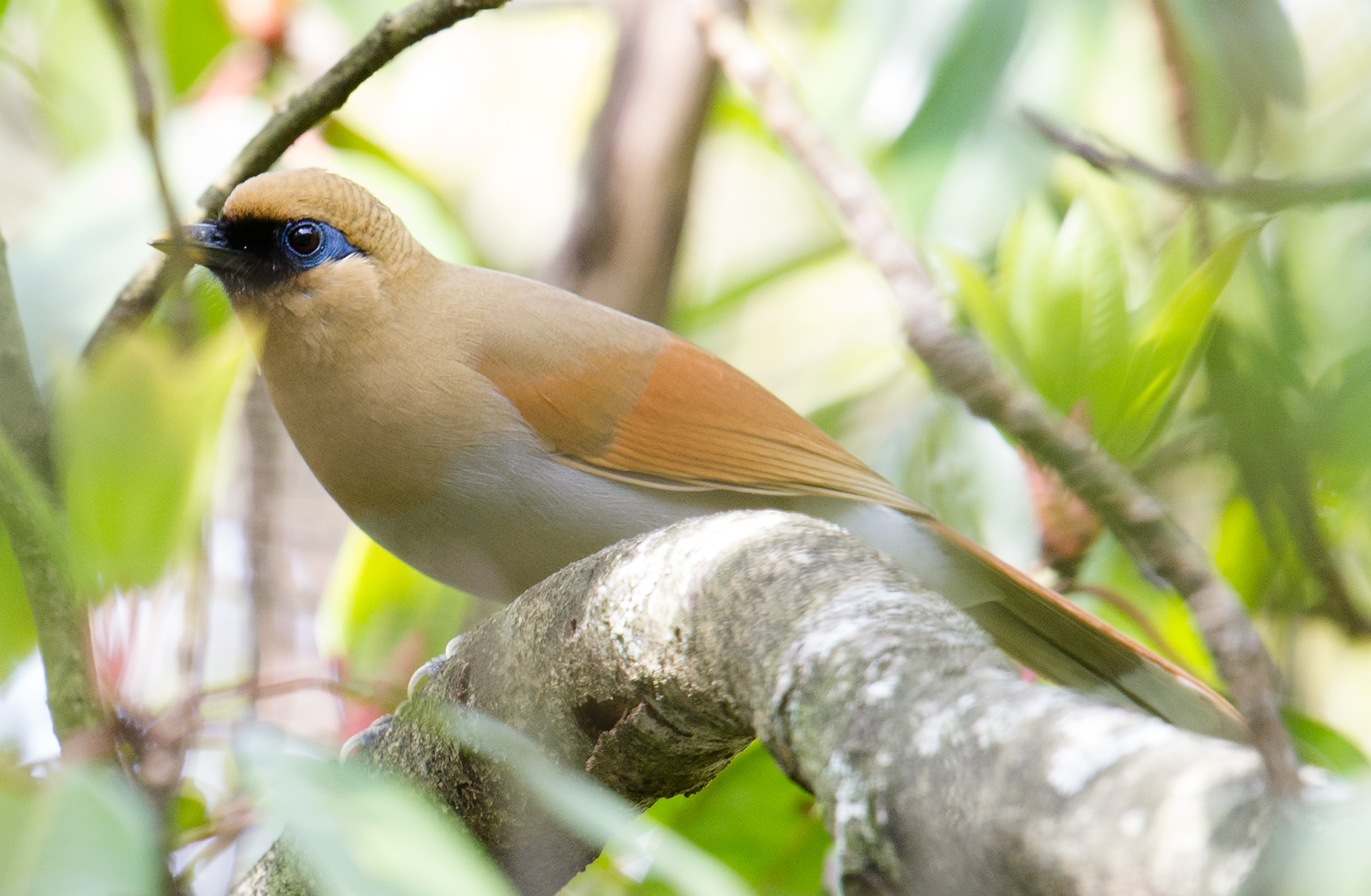 Vocal skulkers, Buffy Laughingthrush are more often heard before they're seen--if you can see them at all.