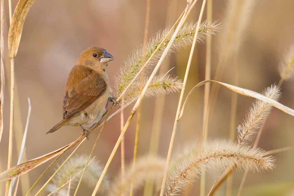 Juvenile Scaly-breasted Munia browsing seed heads on Chongming Island, Shanghai, 15 Nov. 2015.