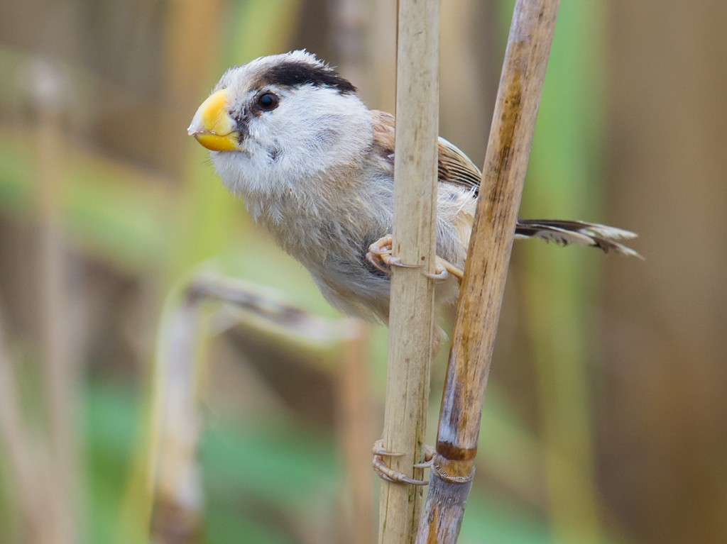 This Reed Parrotbill is lucky. It lives at Chongming Dongtan, a nature reserve protecting the eastern nub of Chongming Island. Its home is safe.