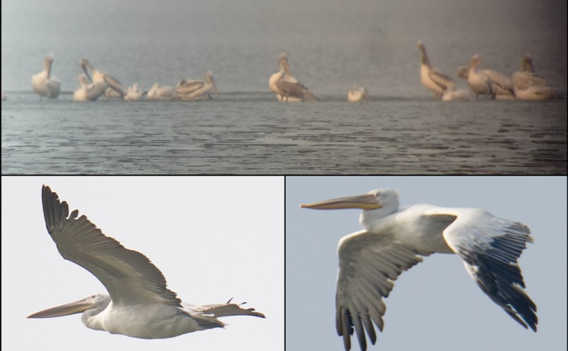 Dalmatian Pelican at Dongtai, Jiangsu, China, 14 Nov. 2015. Listed as Vulnerable by IUCN, Pelecanus crispus breeds from Serbia to Mongolia, with Mongolian breeders wintering along the China coast. Populations in the western parts of its range are stable and even increasing, but the populations in Mongolia and China are in dire trouble.