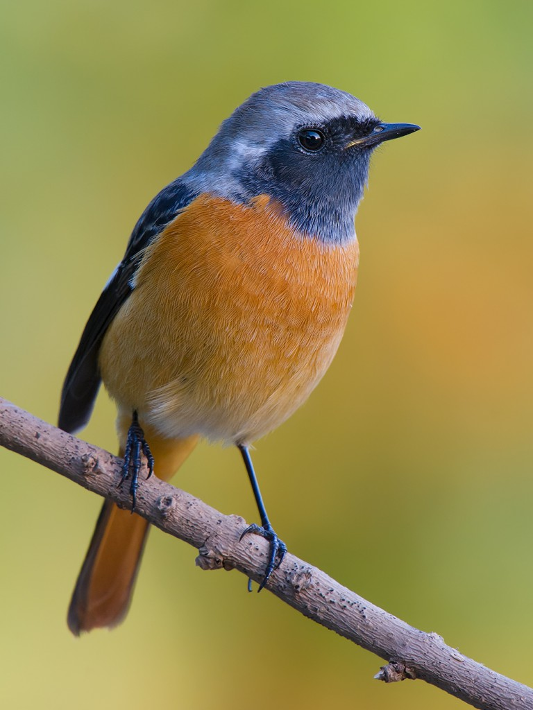 Every winter, Daurian Redstart add beauty to parks large and small in urban Shanghai.
