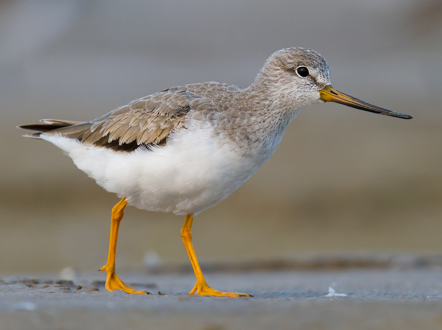 At Dongtai, our highest count (153) of Terek Sandpiper came on 21 June 2015.