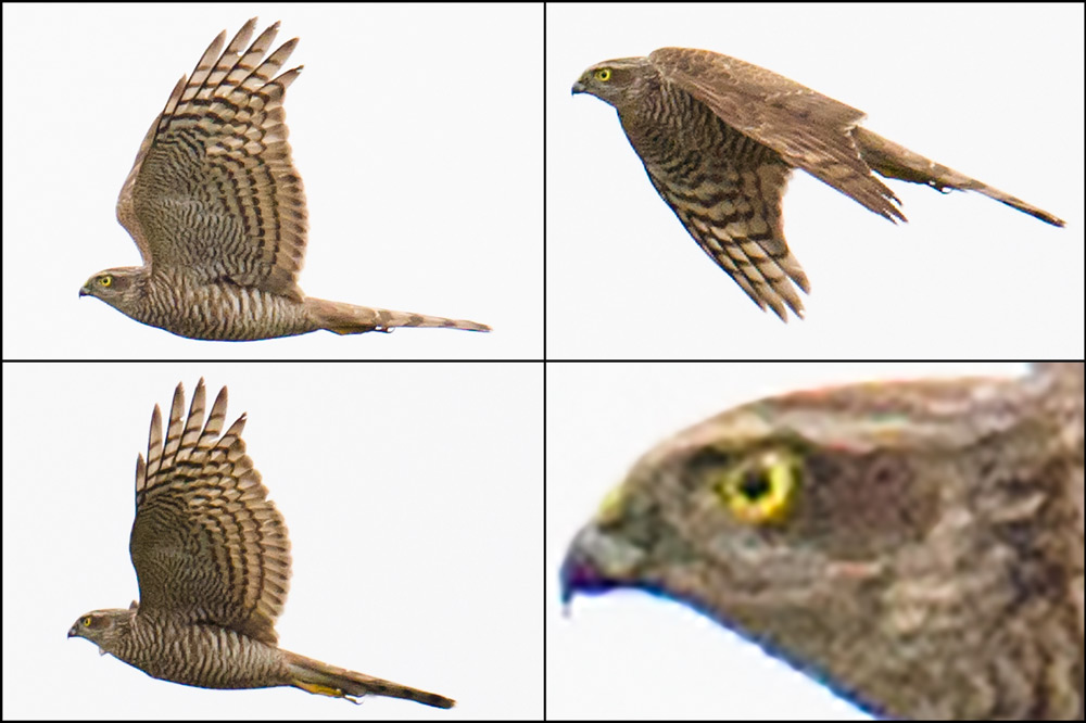 Eurasian Sparrowhawk on Lesser Yangshan.