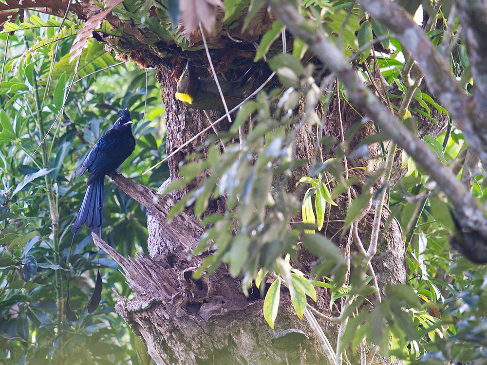 Greater Racket-tailed Drongo and Greater Yellownape