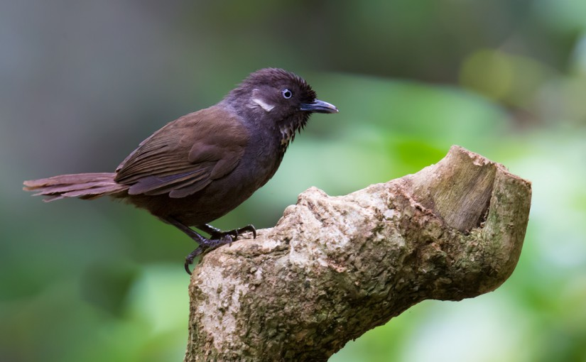 It may seem incredible that a vertebrate species in China remained undiscovered until the 21st century. That however is the case with Nonggang Babbler Stachyris nonggangensis, discovered by Chinese researchers in 2008.