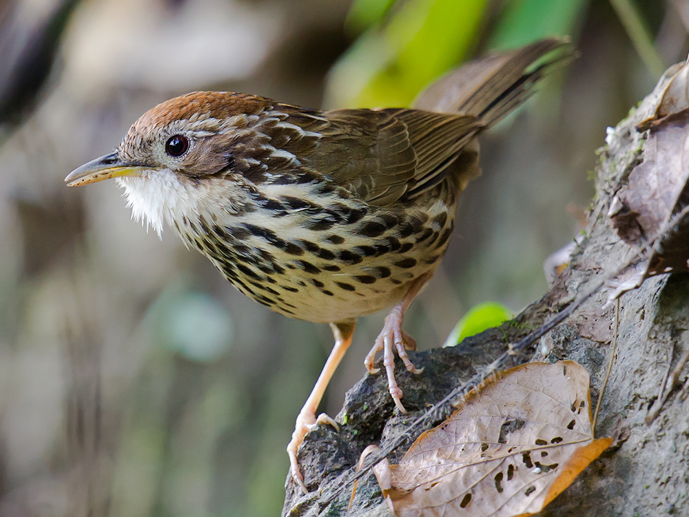 Puff-throated Babbler, Nabang-Xima Trail.