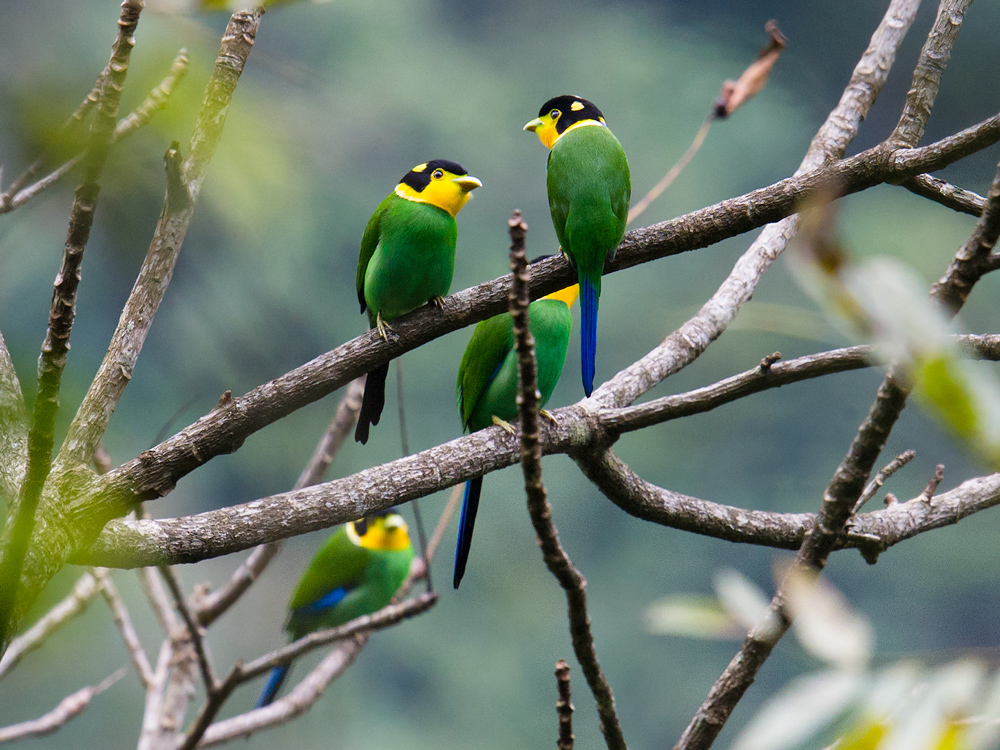 Noisy, gregarious, and flamboyantly colored, Long-tailed Broadbill provide unforgettable moments to the birder.