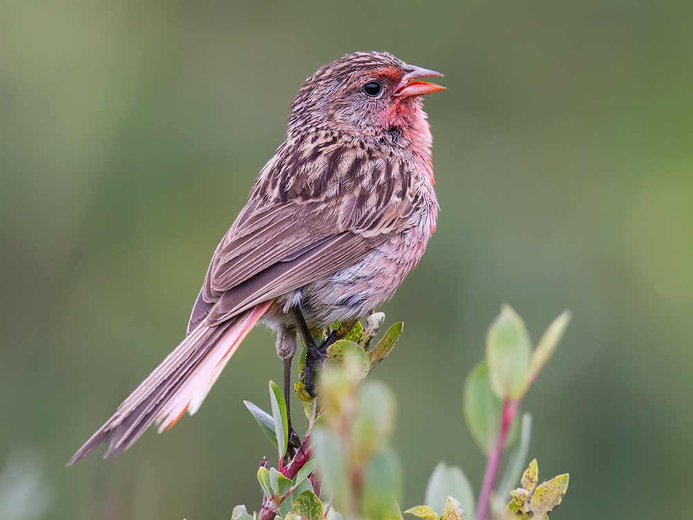 Przevalski's Finch