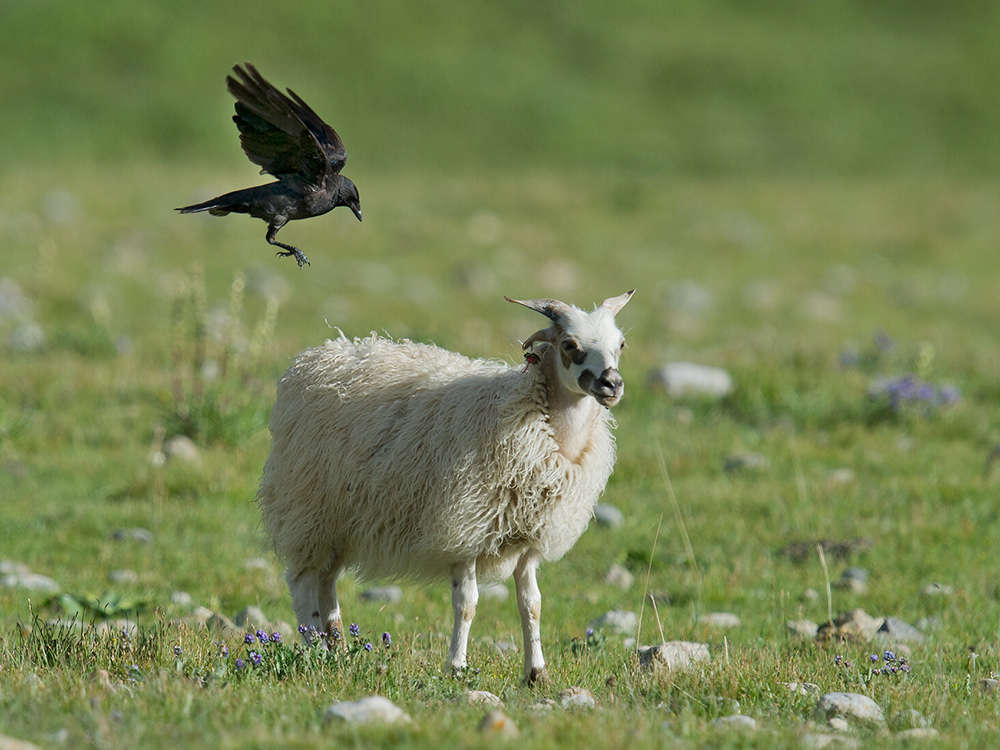 Daurian Jackdaw about to alight on the back of a sheep.