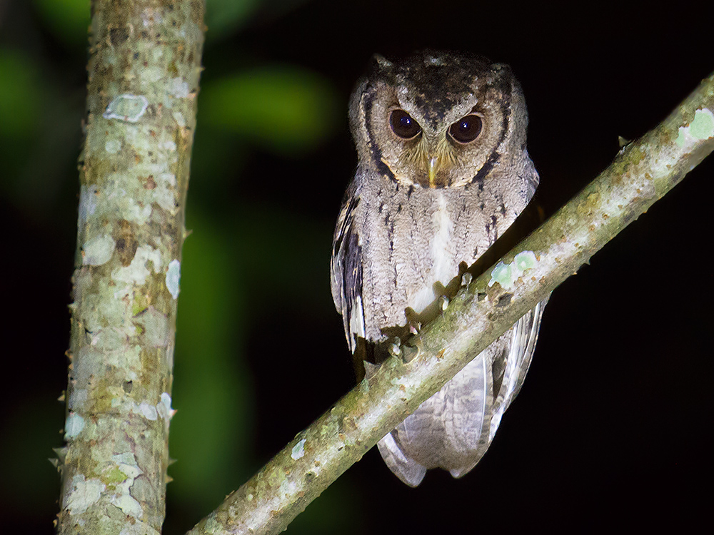It is nearly impossible for a single photographer to photograph owls at night. For the shot of this Collared Scops Owl, I am indebted to Michael Grunwell and Mr. Lu, the former for his deft use of the flashlight, the latter for his intelligent guiding.