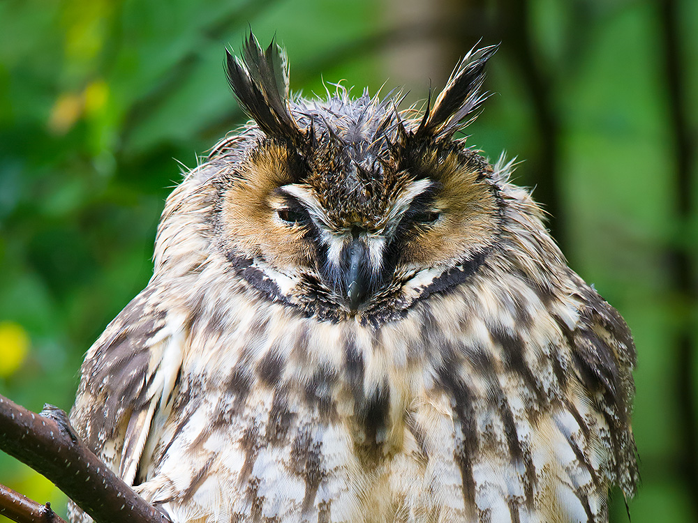 Long-eared Owl Asio otus otus after the rain, Xidaquan, 19 Aug. 2015. Nikon D3S, F/9, 1/125, ISO 4000.