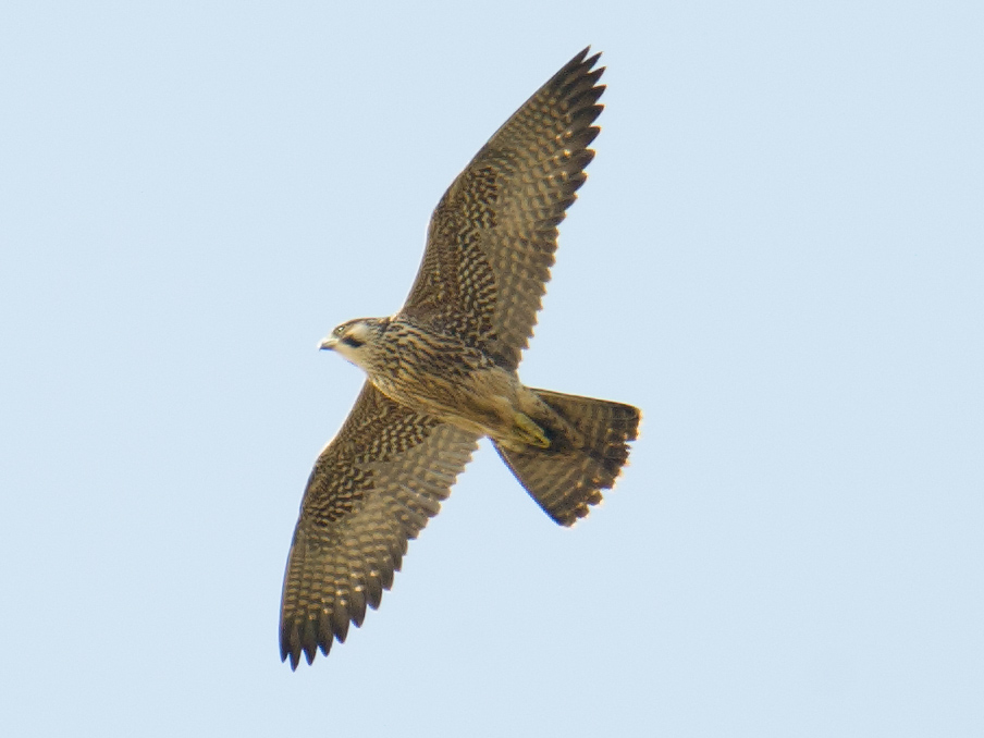 Peregrine Falcon soaring above Magic Parking Lot, Nanhui. This specimen is a juvenile, told from adult by streaked rather than cross-barred breast and belly. Note stockier, more powerful build of Peregrine as compared to other falcons.
