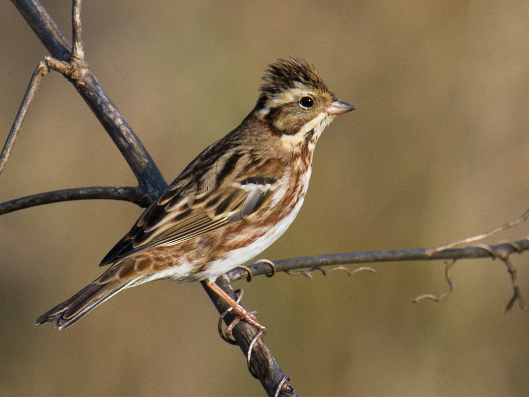Rustic Bunting Emberiza rustica breeds across northern Eurasia, from Fenno-Scandia to the Chukotka Peninsula. It's an uncommon winter migrant in the Shanghai region.