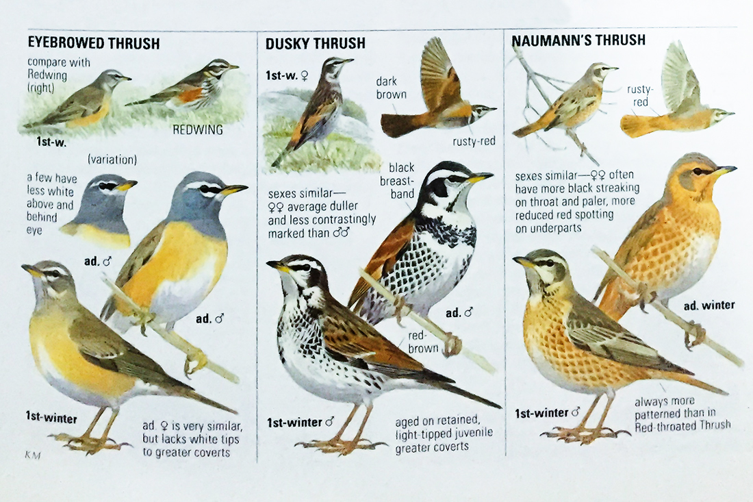The page on Asian thrushes shows the greatness of the Collins guide. Captions point out key features, and the paintings are true-to-life.