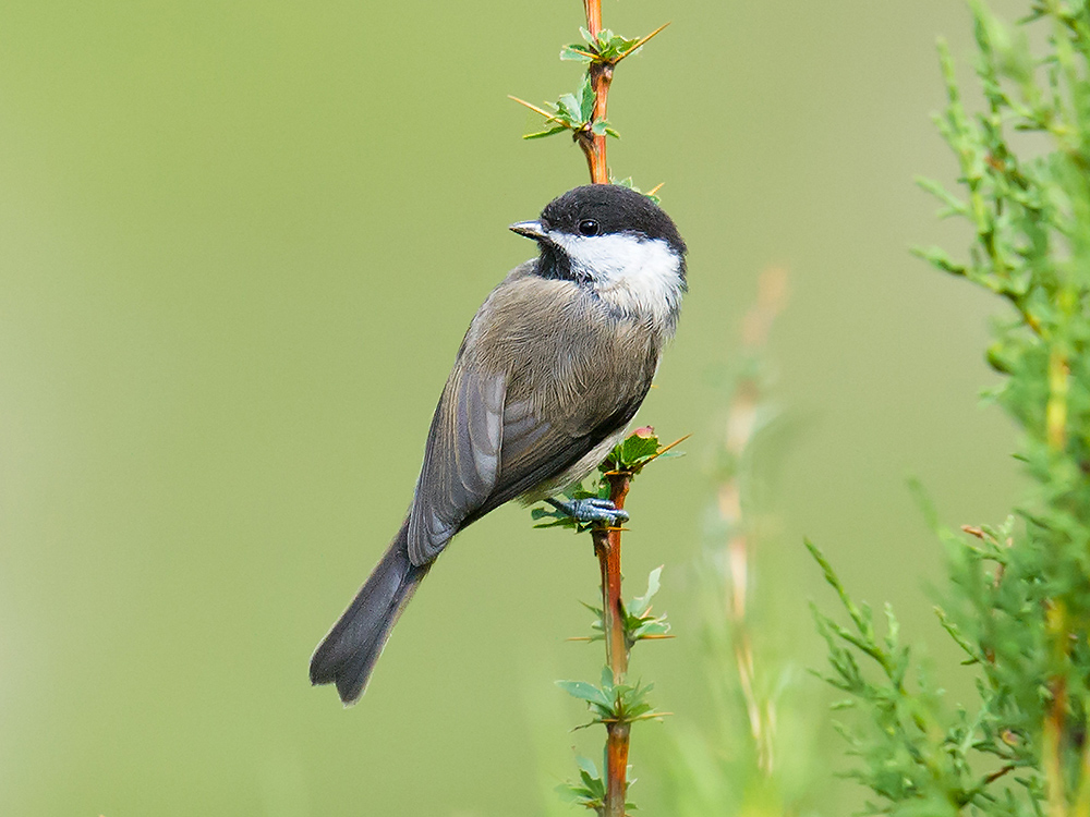 Sichuan Tit near Nangqian. Sichuan Tit is a close relative of Willow Tit, in particular races songarus, affinis, and stoetzneri, with which it once was considered to be a separate species, 'Songar Tit.'