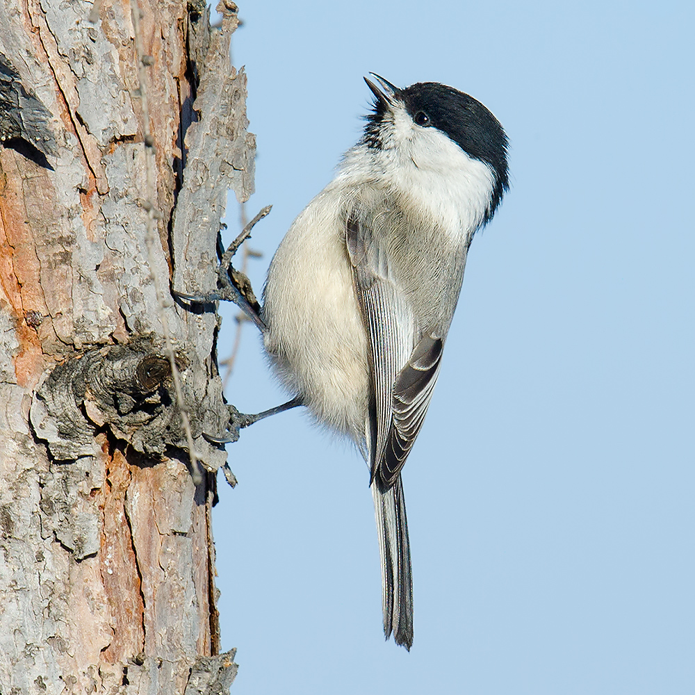 """Willow Tit Poecile montanus baicalensis, Dawucun, 23 Jan. 2015. Note thick, """"bull"""" neck and prominent wing panel. Marsh Tit has a daintier neck and a less prominent wing panel."""