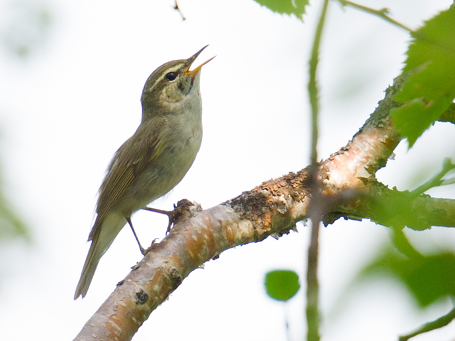 Arctic Warbler Phylloscopus borealis singing at Yikesama National Forest, Hulunbeier, Inner Mongolia, 16 July 2015.