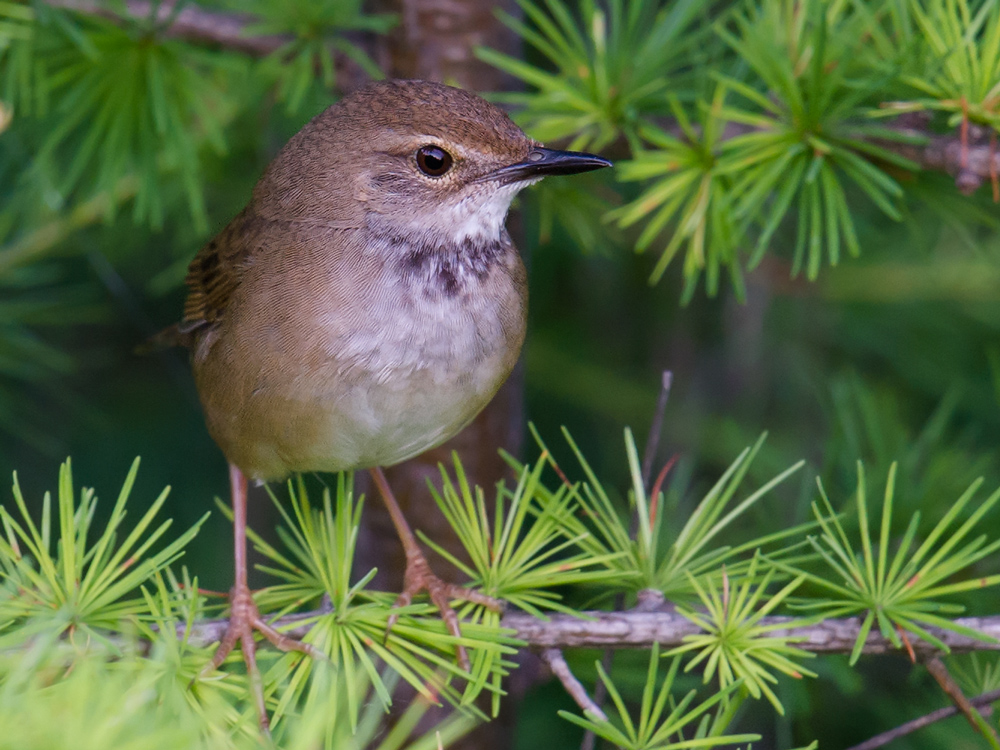 A major highlight of the summer 2015 Hulunbeier trip was finding Baikal Bush Warbler.