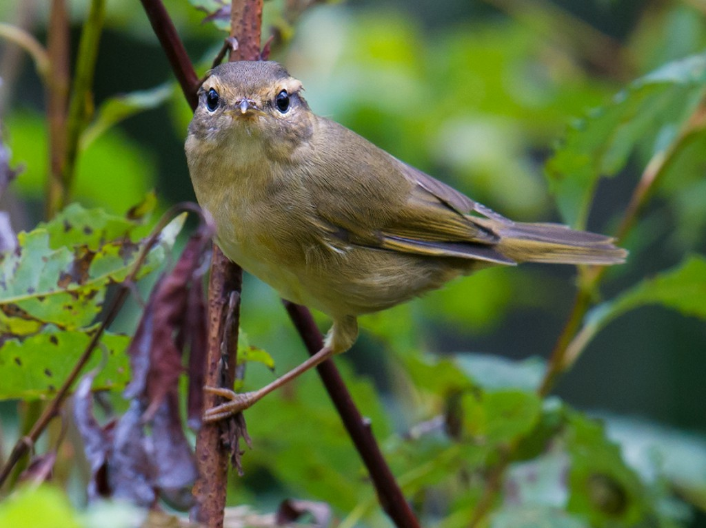 Xidaquan, the forest reserve Elaine and I discovered near her hometown in Heilongjiang, has added to our understanding of the birds of the Shanghai region. There, we are able to see on their breeding grounds birds that in Shanghai are passage migrants. An example is Radde's Warbler.
