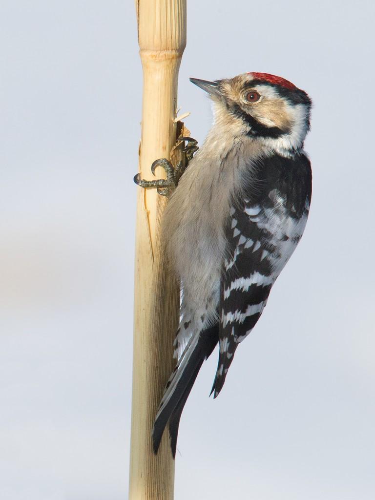 Lesser Spotted Woodpecker Dendrocopos minor on cornstalk, Dawucun, Heilongjiang, 20 Jan. 2015.