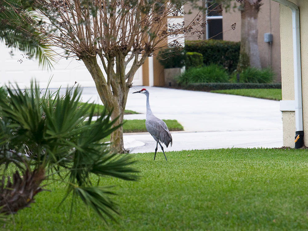 Florida Sandhill Crane Grus canadensis pratensis, DeBary, Florida, 31 Jan. 2015. These cranes are fully wild yet completely accustomed to life in suburbia. No one disturbs them.