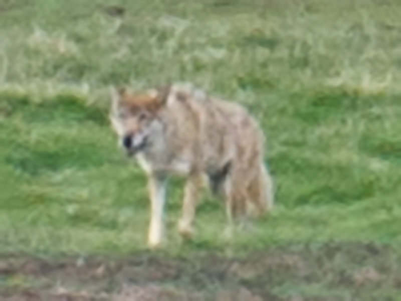 Tibetan Wolf Canis lupus chanco, Antelope Valley, elev. 4430 m, 19 July 2014.