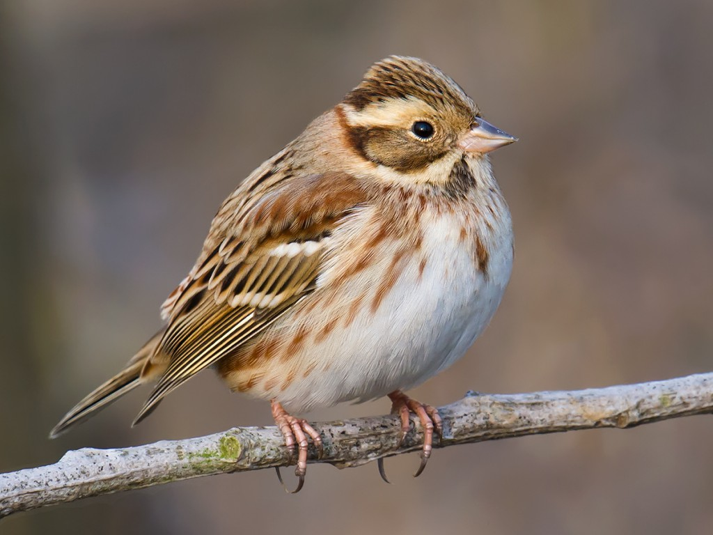 We had little time for photography, but this cooperative Rustic Bunting offered me an opportunity too good to pass up. It is easy to distinguish a faded winter Rustic (as here) from the smarter breeding Rustic; it is harder to age and sex them.