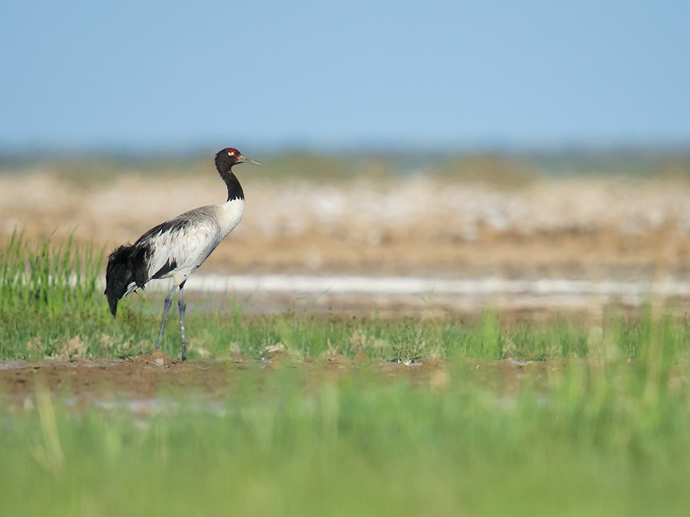 Black-necked Crane Grus nigricollis in desert wetland 150 km E of Golmud, Qinghai. 13 July 2014.