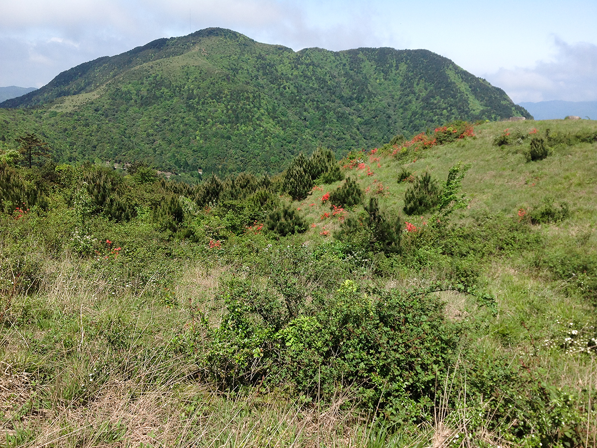 Emeifeng is full of high-quality mountain habitat. This is alpine scrub, elev. 1500 m. Here, Buff-throated Warbler and Brown Bush Warbler thrive.