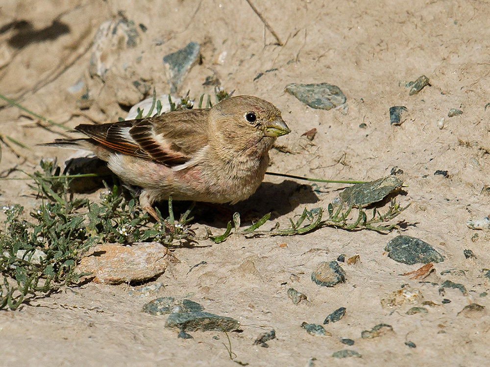 Mongolian Finch Bucanetes mongolicus, near Subei, Gansu, China. Elev. 3470 m. 23 July 2014.