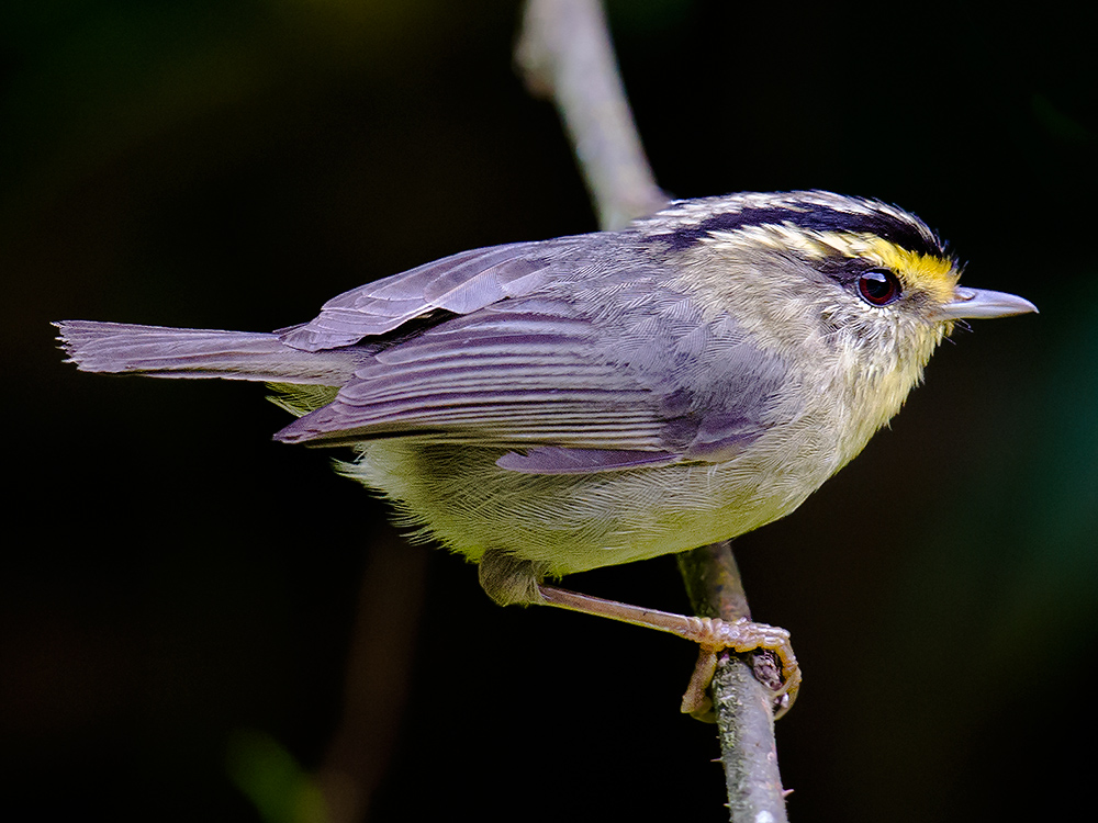 Yellow-throated Fulvetta