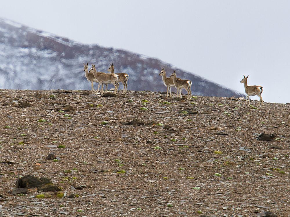 Tibetan Gazelle, Yuzhu Glacier Nature Reserve, Qinghai. Elev. 5050 m. 20 July 2014.