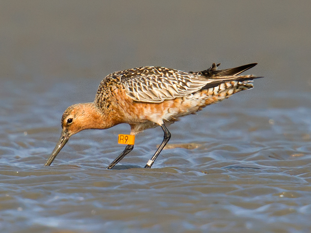 I submitted a report of the sighting of this banded godwit to the Australasian Wader Studies Group (AWSG). On 19 April 2015, I received word back from AWSG. This godwit had been banded on 23 June 2009 (nearly 6 years ago!) off Mann's Beach, Corner Inlet in Victoria, Australia.