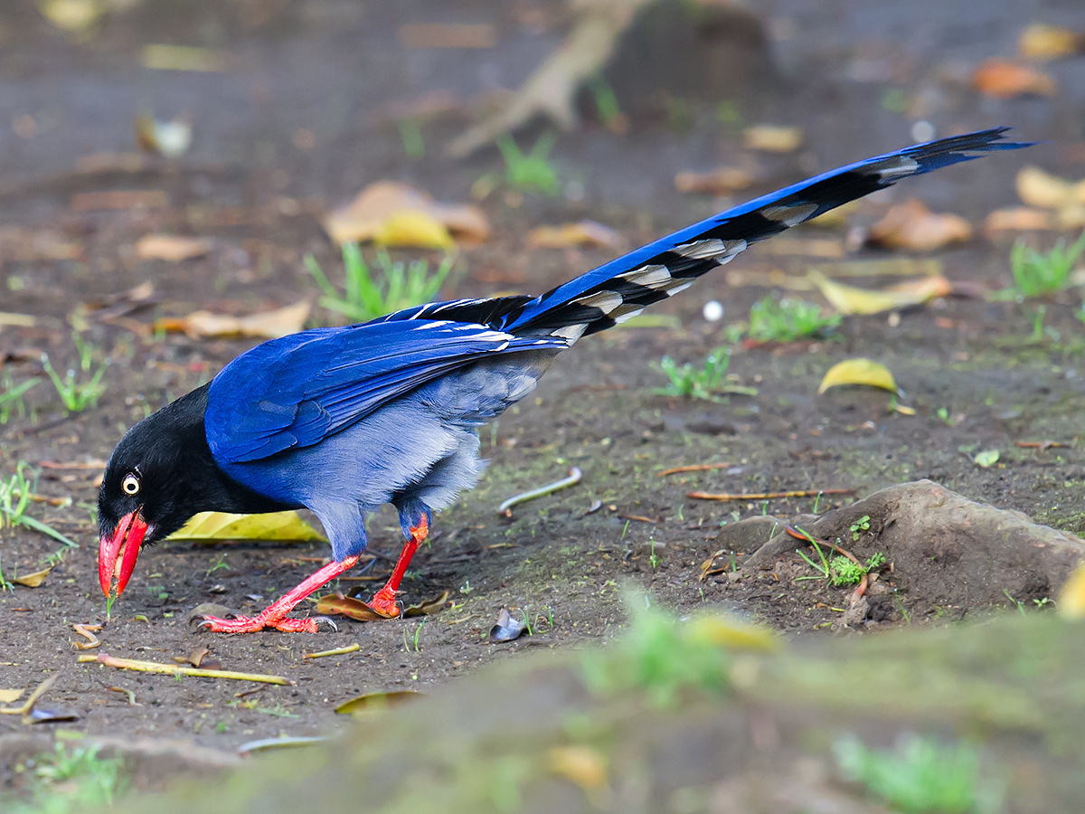 Perhaps no bird better represents Taiwan than Taiwan Blue Magpie <em>Urocissa caerulea</em>. It is fairly common, beautiful, instantly recognizable, and, as it occurs nowhere else but Taiwan, a potent symbol of the specialness of the island. For many beginner birders in Taiwan, their study of Taiwan's avifauna begins with Taiwan Blue Magpie. Mt. Yangming.