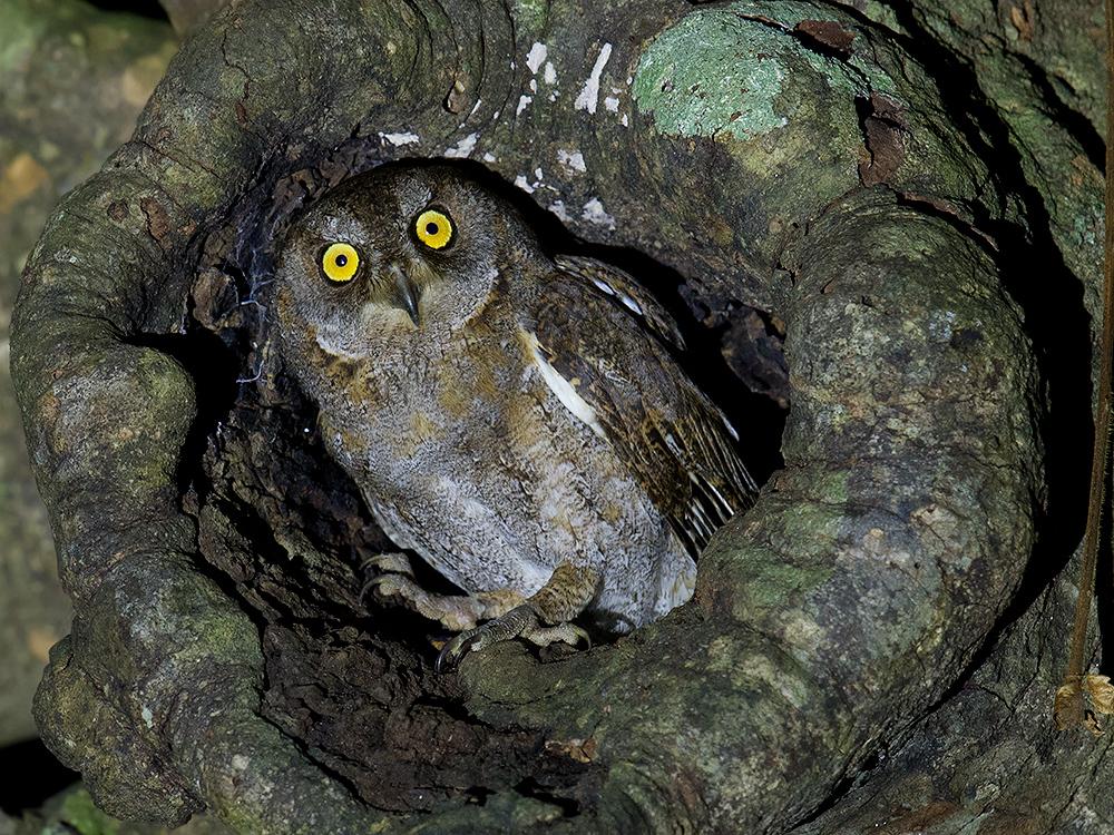 Lanyu Scops Owl