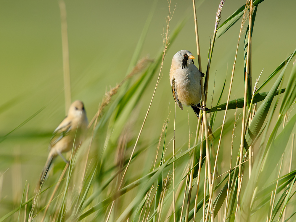 Bearded Reedling Panurus biarmicus, at desert wetland near Nuomuhong 150 km E of Golmud. Elev. 2700 m. 13 July 2014.