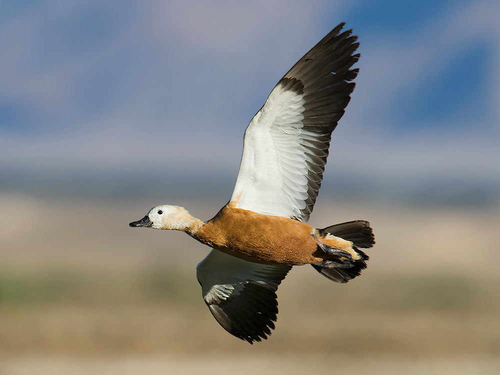 Ruddy Shelduck Tadorna ferruginea in desert wetland 150 km E of Golmud, 13 July 2014.