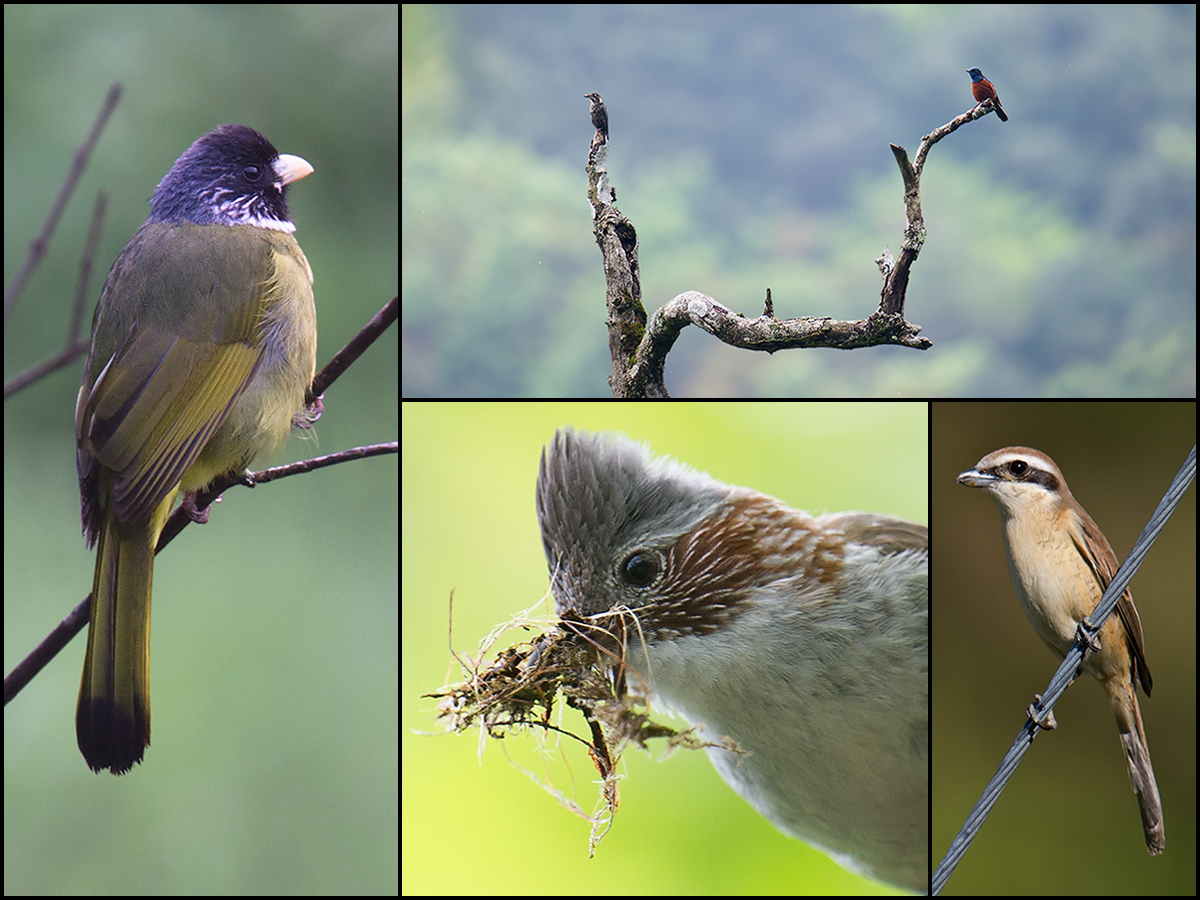 Birds of Emeifeng, 3 May 2015. Clockwise from L: Collared Finchbill, Chestnut-bellied Rock Thrush, Brown Shrike, and Indochinese Yuhina.
