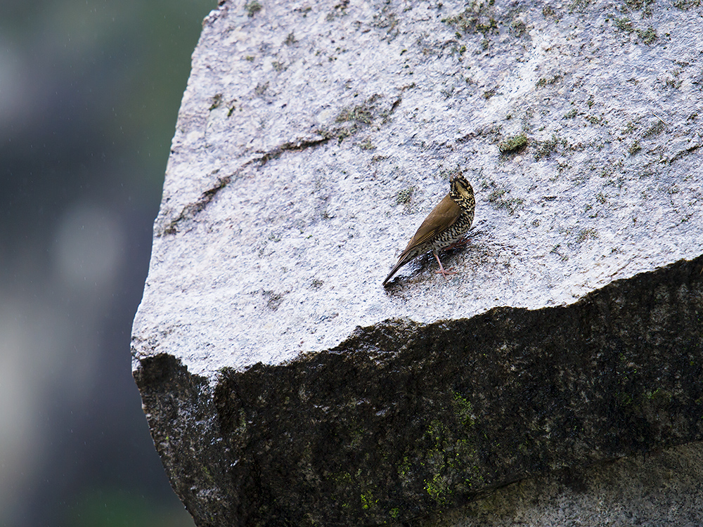 Himalayan Forest Thrush Zoothera salimalii on a wet boulder in the rain, above Dulong Valley, 20 June 2014. A 'forest' thrush on a rocky outcrop? Yes, write the authors: 'At Dulongjiang, Yunnan province, China, we found Himalayan Forest Thrush to be numerous in a very different habitat: on steep slopes with bamboo and rhododendron scrub and rocky outcrops and a few scattered conifers, at or just above the upper tree limit, at 3350–3500 m a.s.l. … Surprisingly, we did not observe any birds in the seemingly suitable forest immediately below despite active searching.'