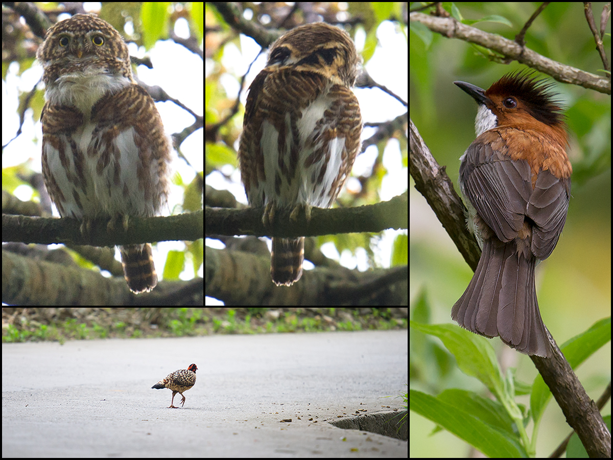 Birds of Emeifeng, 1 May 2015. Clockwise from top L: Collared Owlet showing true and false face; Chestnut Bulbul; and Cabot's Tragopan running across the road. Craig Brelsford.