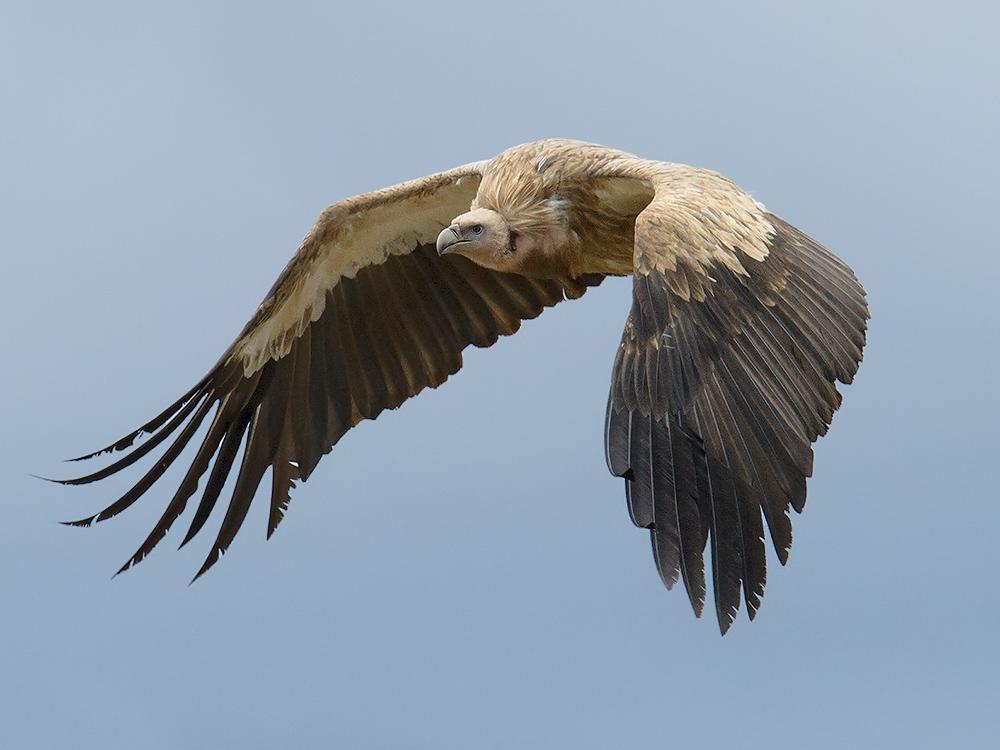 Himalyan Vulture Gyps himalayensis near Qingshuihe, Qinghai. Elev. 4380 m. 18 July 2014.