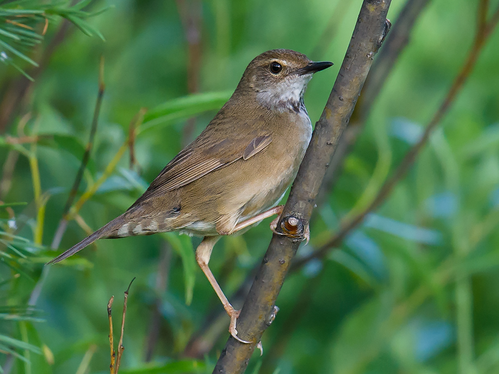 Baikal Bush Warbler, 12 July 2015. Near Genhe, we were driving 60 km/h and in the middle of a conversation. Suddenly Jan-Erik said, 'I just heard Siberian Bush Warbler!' (IOC: Baikal Bush Warbler). I hit the brakes and parked. Within a few seconds, we had our bird. Jan-Erik has sharp ears!