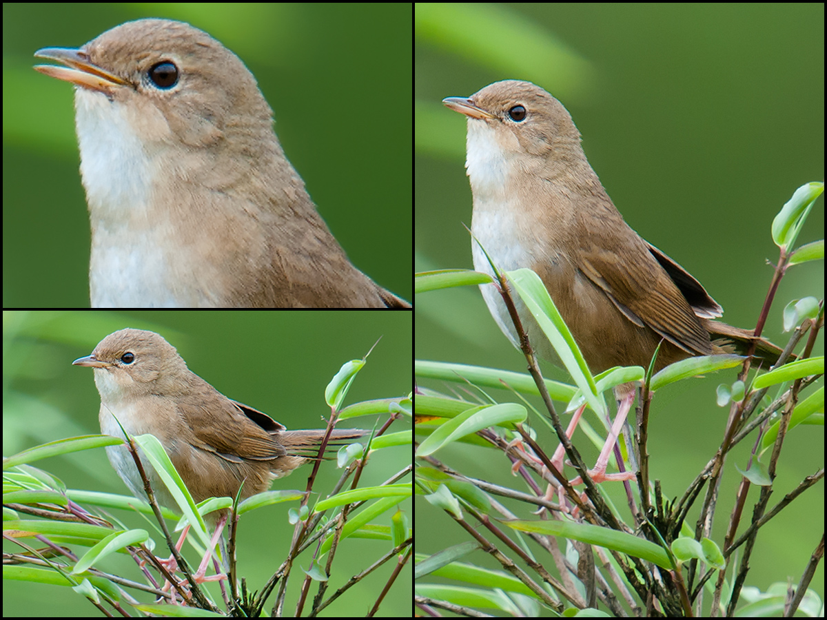 Brown Bush Warbler