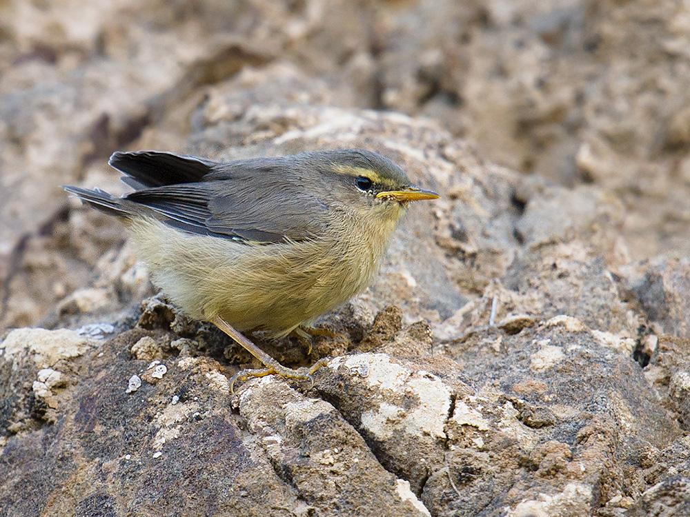 Sulphur-bellied Warbler Phylloscopus griseolus, near Subei, Gansu. Elev. 2520 m. 24 July 2014.