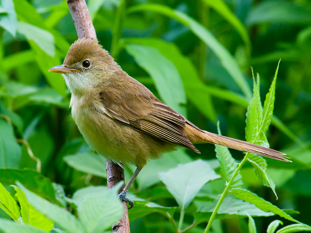 Thick-billed Warbler, Yangkou, 16 May 2015.