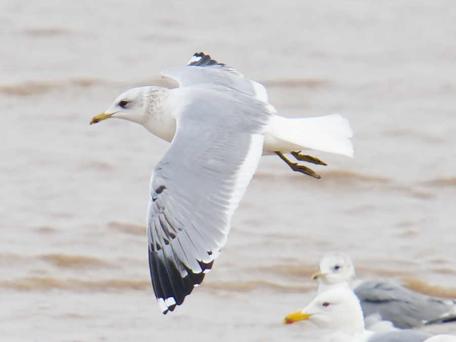 Kamchatka Gull Larus canus kamtschatschensis, Nanhui, 30 Jan. 2016. L. c. kamtschatschensis is larger and darker than the western forms L. c. canus and L. c. heinei. L. c. heinei is known to occur on the China coast and should be looked out for.