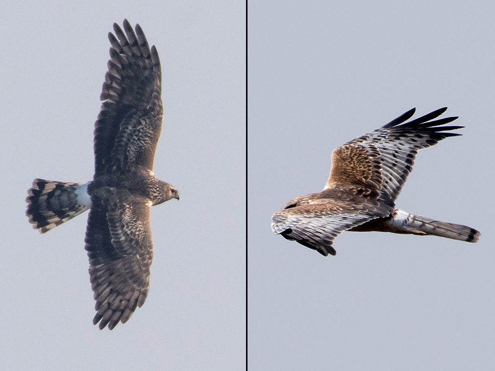 Hen Harrier (L) and Pied Harrier, Nanhui, Monday. Both are adult females. A conspicuous white rump is a feature of both Circus cyaneus and C. melanoleucos. Note however the more evenly banded tail of the former and the more contrasting upperparts of the latter. Both by Kai Pflug.