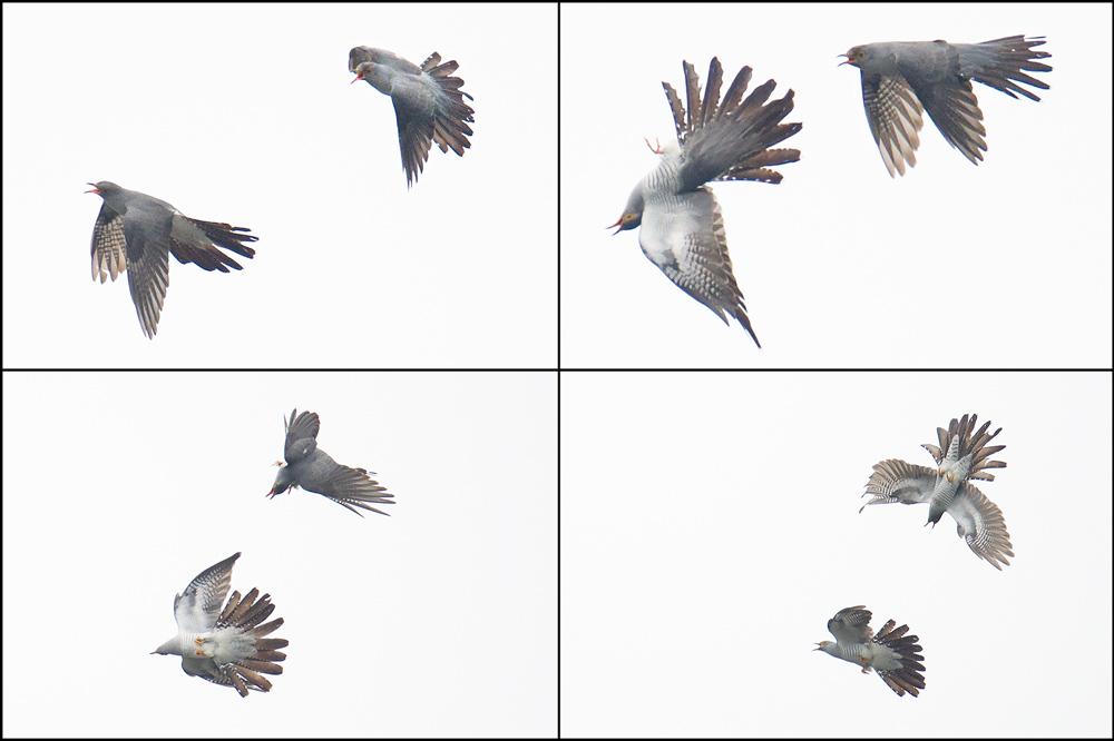 Common Cuckoo, Nanhui, 14 May 2015.